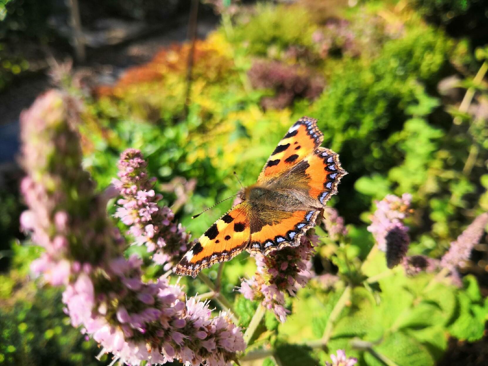 Ein Schmetterling (Pfauenauge) auf einer Pfefferminzblüte in der Morgensonne